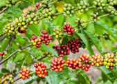 Coffee tree with ripe berries — Foto Stock