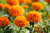 黄色花、 万寿菊 — 图库照片