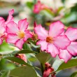 Stock Photo: Desert Rose