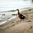 The duck goes into the dirty water — Stock Photo