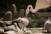 Greater Flamingo family (Phoenicopterus roseus)  — Stock Photo
