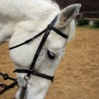 White horse in harness — Stock Photo #37810043