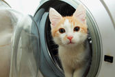 Ginger kitten climbed into the washing machine and looks out of her — Stock Photo
