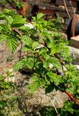 Young shoot raspberries in the garden in April — Stock Photo