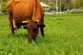 Cow grazing on green meadow — Stock Photo