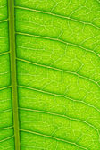 Green Leaf Veins — Stock Photo