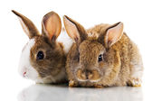 Two Bunnies — Stock Photo