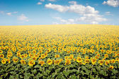Sunflower Field — Fotografia Stock