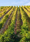 Port Wine Vineyards — Stock Photo