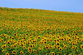 Sunflower Field — Stock Photo