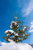 Pinetree with snow — Stock Photo