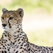 Cheetah Portrait — Stock Photo #35277993
