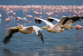 Great White Pelican (Pelecanus onocrotalus) — Foto de Stock