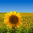 Big Sunflower on Sunflower Field — Stock Photo