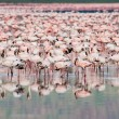 Thousands of Flamingos on Lake Nakuru — Stock Photo
