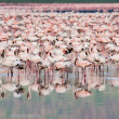 Stock Photo: Thousands of Flamingos on Lake Nakuru