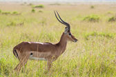 Impala in the Savannah — Stock Photo