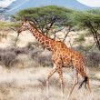 Reticulated Giraffe walking in the Savannah — Stock Photo #35353931