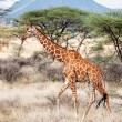 Reticulated Giraffe walking in the Savannah — Stock Photo