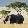 Elephant in the Savannah — Foto Stock