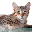 Brown Striped Kitten — Stock Photo