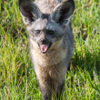 Stock Photo: Bat Eared Fox