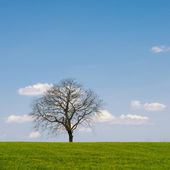 Leafless Tree — Stock Photo