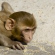 Rhesus macaque crouching — Stock Photo