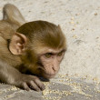 Stock Photo: Rhesus macaque crouching