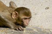 Rhesus macaque crouching — Stock Photo