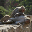 Stock Photo: Rhesus macaque grooming male