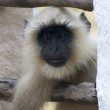 Langur poking head through window — Stock Photo