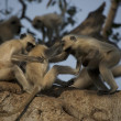 Three langurs playing — Stock Photo