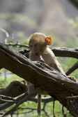 Baby rhesus macaque chewing a branch — Stock Photo