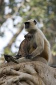 Mother cuddling baby langur — Stock Photo