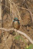 Kingfisher close-up — Stock Photo