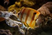 Copperband butterflyfish swimming upwards through coral reef — Foto Stock