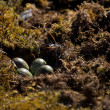 Close-up of four eggs in sandpiper nest — Stock Photo #48795487
