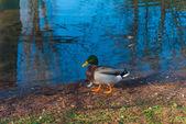 The Duck — Stock Photo