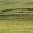 Mowed hay at the beginning of autumn — Stock Photo