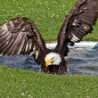American Eagle Taking A Bath — Stock Photo