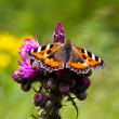 Small Tortoiseshell Aglais urticae  — Stock Photo