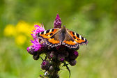 Small Tortoiseshell Aglais urticae — Photo