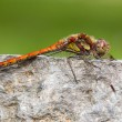 Common Darter  Sympetrum striolatum — Stock Photo