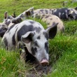 Pigs Lying In The Grass — Stock Photo