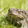 Toad In Grass — Stock Photo