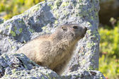 Nocky Mountains Groundhog Spying On A Stone — Stock Photo