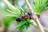 Photogenic Ant — Stock Photo