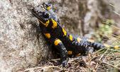 Fire Salamander — Foto de Stock