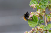 Bumblebee Sipping Nectar From Red Currants Blossom — Stock Photo